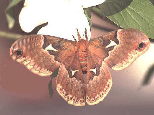 Photo of Female Tulip Tree Moth